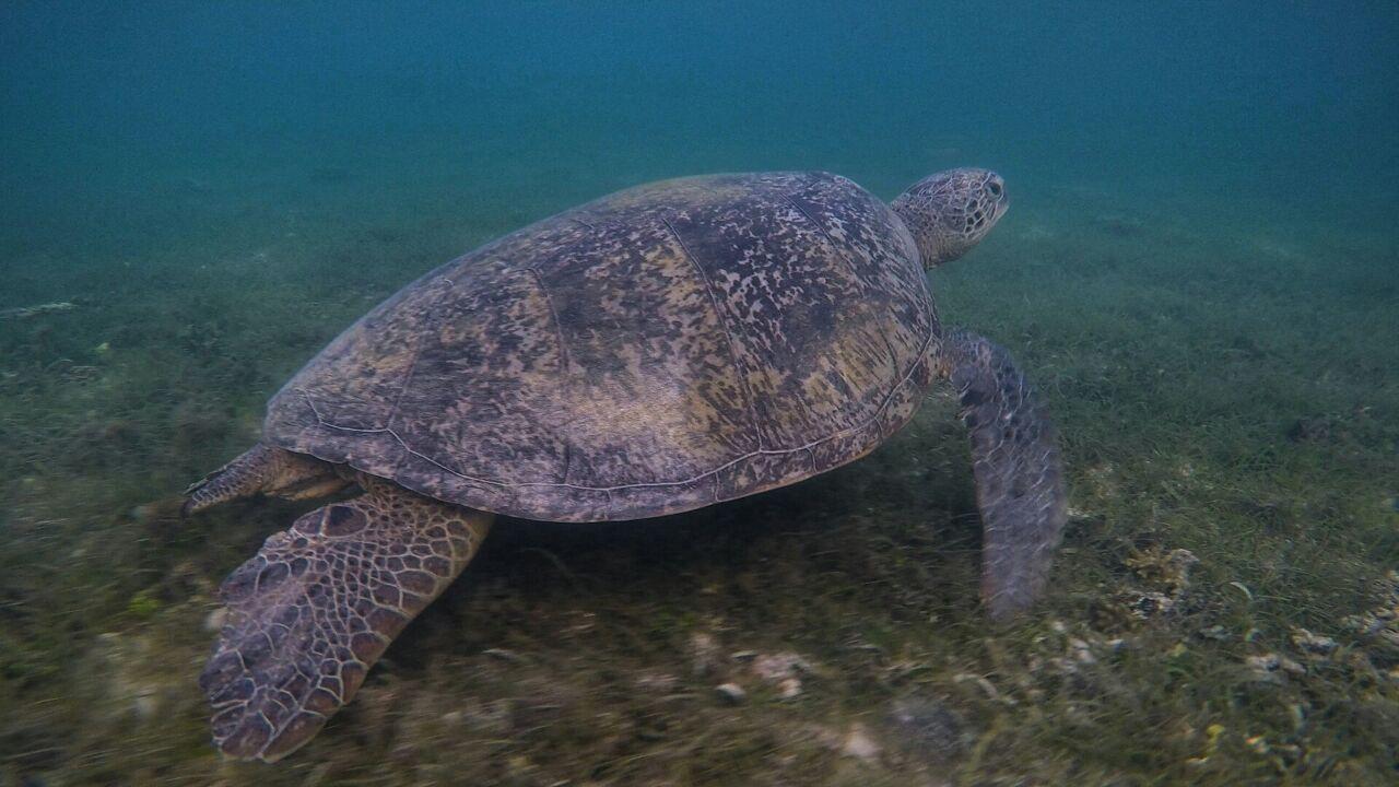 Turtle Paradise di Pulau Derawan dan Sangalaki