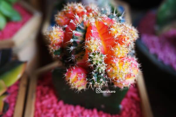Kaktus warna-warni