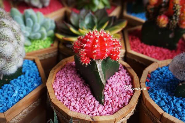 Kaktus mini berwarna merah