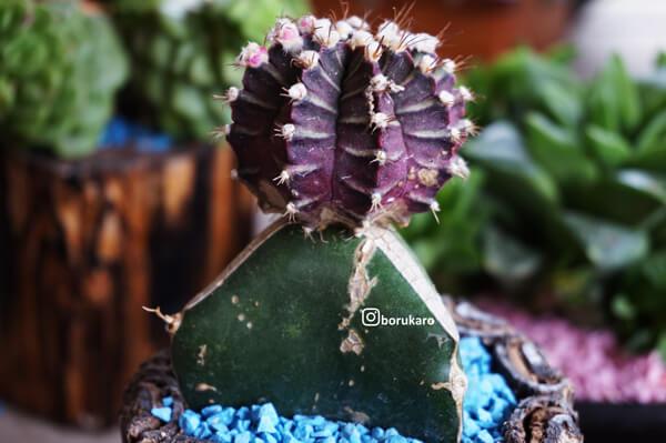 Kaktus mini berwarna ungu