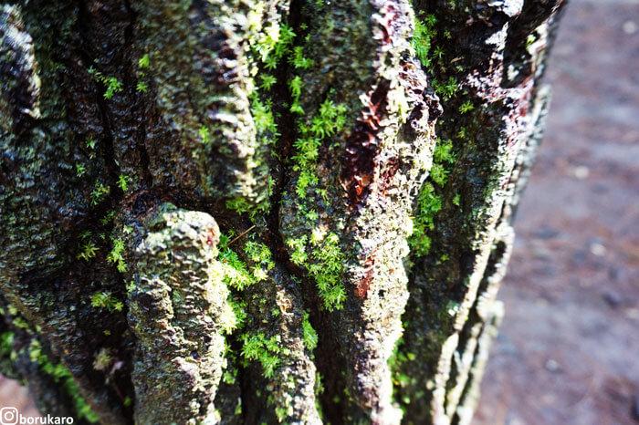 Lumut di hutan pinus Mangunan